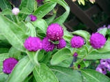 Globe Amaranth   (Gomphrena globosa. Incredibly heat tolerant)