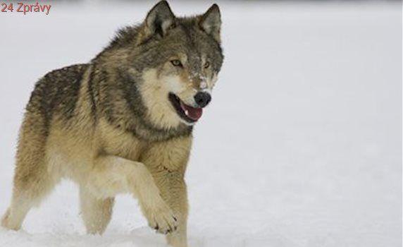 Jak se pes naučil prosit o odpuštění od vlka