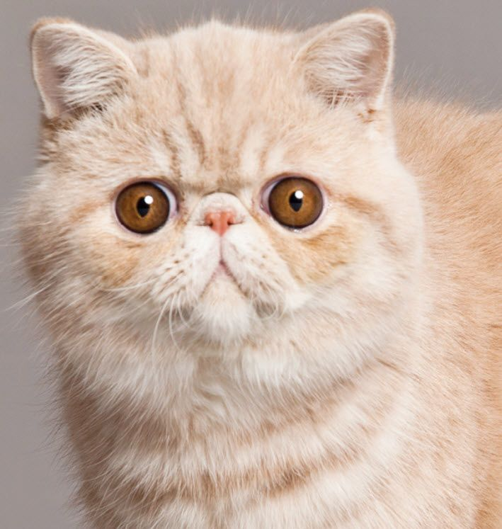 Pin On Exotic Shorthair Cat