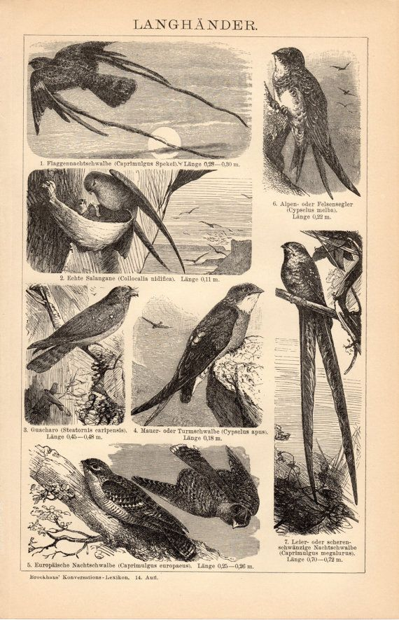 1908 Antique Birds Print, Swallows, Langhänder, Caprimulgus, Common Swift, Oilbird, Nocturnal Birds, German Engraving.