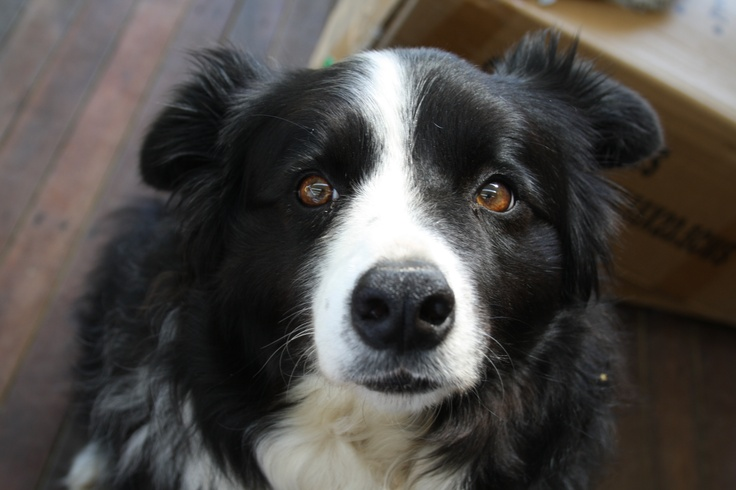 Our pet Border Collie, Maddie.