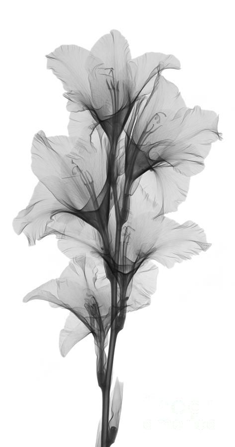 gladiola tattoo.. x-ray view August flower for my Dad