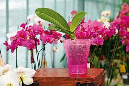 Orchidey - presádzanie