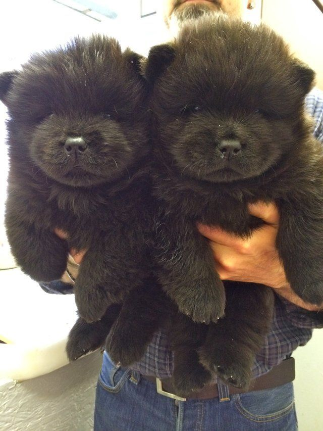 Chow Chow Puppies - 2 Black Males for sale