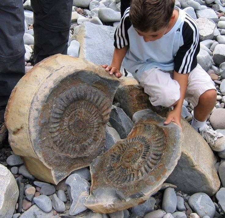 ammonite discovered at Quantoxhead, England.