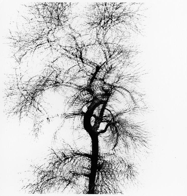 Multiple Exposure Tree, Chicago, 1956.  Gelatin silver print by Harry Callahan