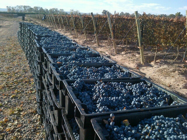 """Picking Cabernet Franc in Perdriel for Walter Bressia wines. Tasty!"" says agronomist Marcelo Casazza"
