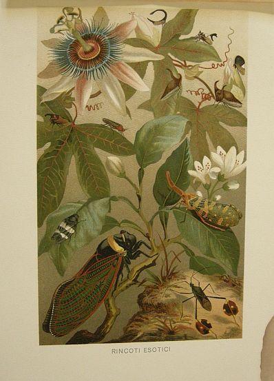 Rincoti esotici. s.d. (ma 1900 ca.). Storia naturale - Etologia - Animali -  Insetti -  Stampa - Scienza -  -