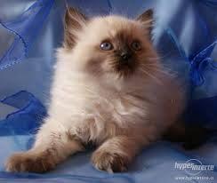 ragdoll-cat , kočka
