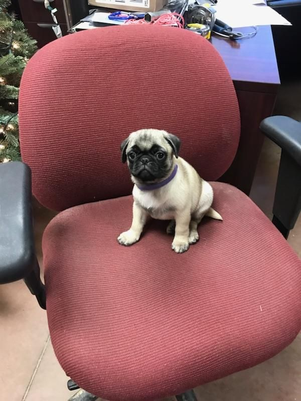 Pug Puppy For Sale In Walton Ky Adn 59124 On Puppyfinder Com