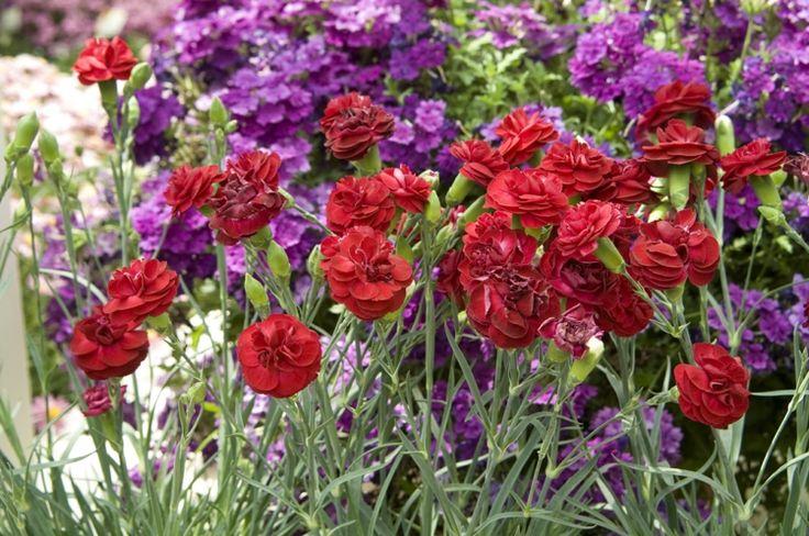 nelken im garten pflanzen rot-lila-idee-huebsch-gestaltung