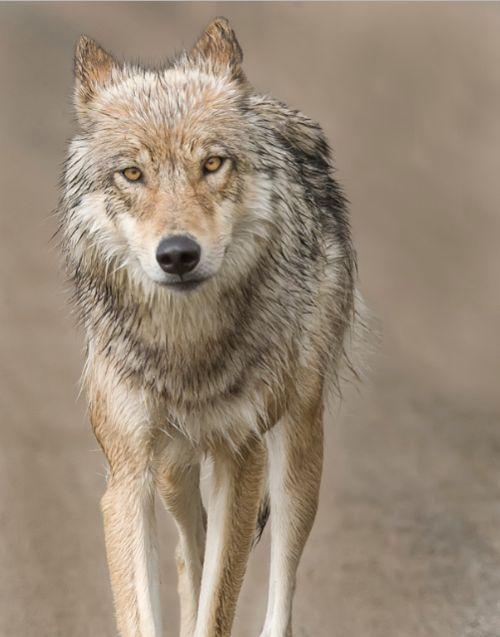 .Gorgeous wolf!
