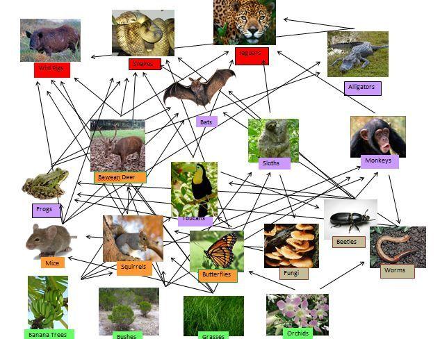 Tropical Rainforest Food Web Diagram