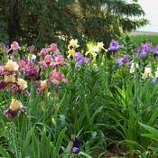 Date: 2011-06-09Iris in bloom zone 4a