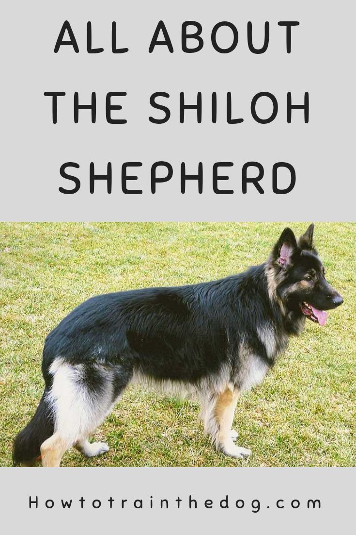 The Shiloh Shepherd – Everything You Need To Know | Shiloh ...
