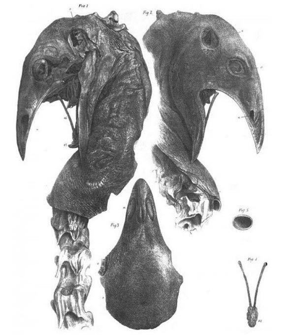 Mummified head of an upland moa