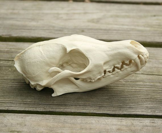 fox skull replica by skullery on Etsy, $27.00