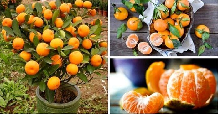 Stop Buying Tangerines. Plant Them In A Flowerpot And You Will Always Have Hundreds Of Them! - http://www.ecosnippets.com/gardening/stop-buying-tangerines/