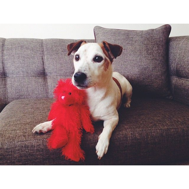 Jack Russell Lovin' - Bear ~ Princess, there is no other ~