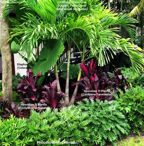 Tropical Landscape Bed - This lush bed contains only 4 plants. The contrast in heights & color give it a well-balanced look. All of the plants will work for zone 9 (except palm-see below for alternatives), but a very cold night or frost may cause some to have foliage damage or die back to the ground-returning in Spring. Christmas Palm Tree [Queen, Foxtail, and King best suited for zone 9]. Elephant Ear (Colocasia). Hawaiian Ti Plants (Cordyline Terminalis). Philodendron (Xanadu).