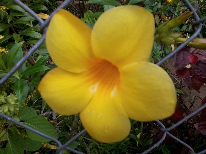 Enredadera de flor amarilla.
