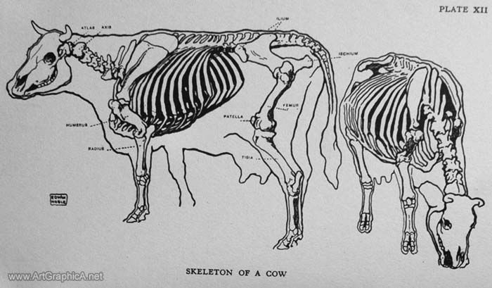 How to Draw a Cow, Art and Anatomy