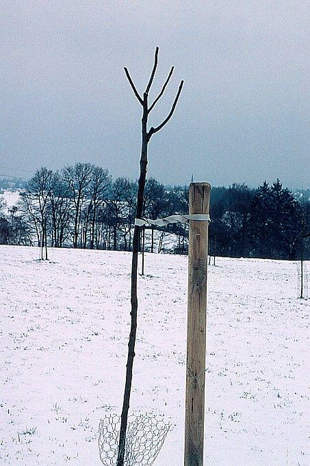 Bereits der Pflanzschnitt legt die Grundlage für die richtige Kronenbildung - Foto: Hans-Joachim Bannier