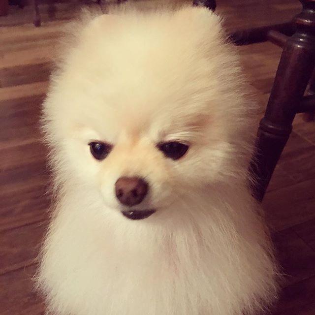 今日のこうちゃん 母さんにめちゃめちゃ叱られてしょんぼり巻★ #わんこ#ポメラニアン#ポメラニアン大好き #ポメ#ポメラニアンが大好き #ポメラニアンが好き #dog#今日のこうちゃん#こうちゃん#今日のわんこ #愛犬#反省犬#cute#love#pomeranian #pom#puppy #puppylove
