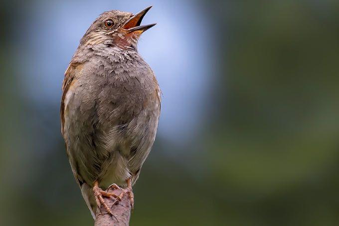 die besten 25 einheimische singv gel ideen auf pinterest heimische vogelarten einheimische. Black Bedroom Furniture Sets. Home Design Ideas