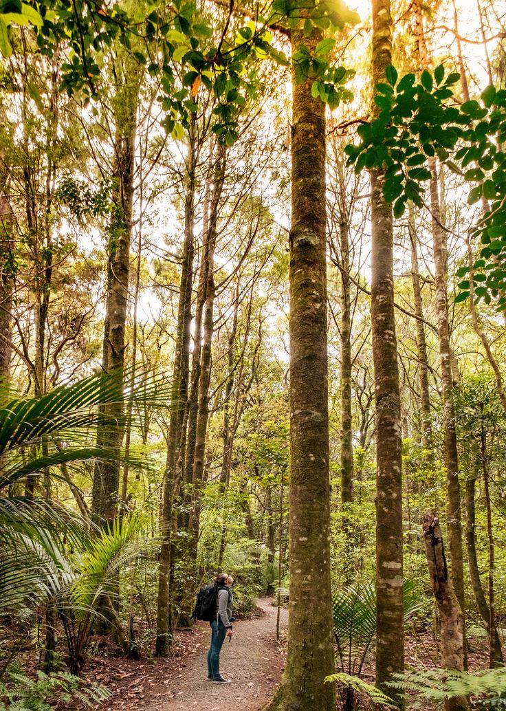 Die Kauri Bäume sind unter den weltweit mächtigsten Bäumen, die bis zu 50 Meter hoch werden und über 2.000 Jahre leben ...