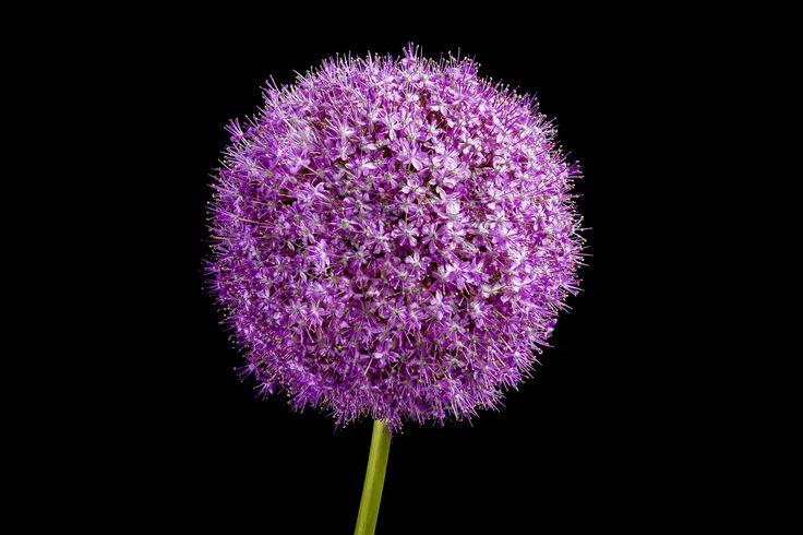 Allium gehört zu den Lauch-Arten