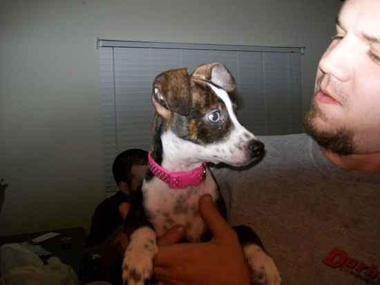 My puppy, Lola, when we first got her. She is a pitbull/chihuahua mix