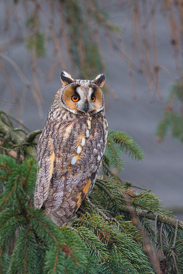 Long-eared Owl .(Asio otus, previously Strix otus)