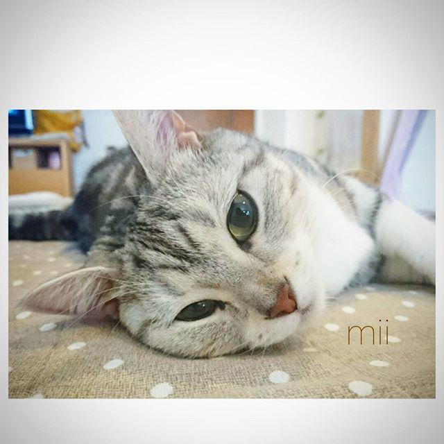 こんな日は暖房前でゴローン✨温かいんだにゃ~✨ポカポカに酔ったみぃ♨ #ねこ二日酔い祭 いってみます😊 寒いですね💦風邪を引かないようにしましょうね🍀 * #みぃすたぐらむ  #にゃんだふるらいふ #にゃんすたぐらむ #ねこすたぐらむ  #国境なき猫の輪団 #PMENS(マネージャー) #関東にゃんこ部 #ねこ部#ねこら部 #ねこ#にゃんこ#ネコ #猫#愛猫#neko#cat #meow#kitty#cats#meows #nyanstagram
