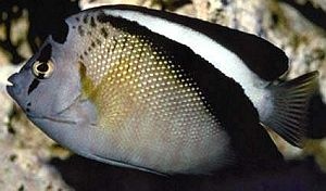 White-belted Angelfish Apolemichthys griffisi 25 cm Pacific Steep outer reef slopes