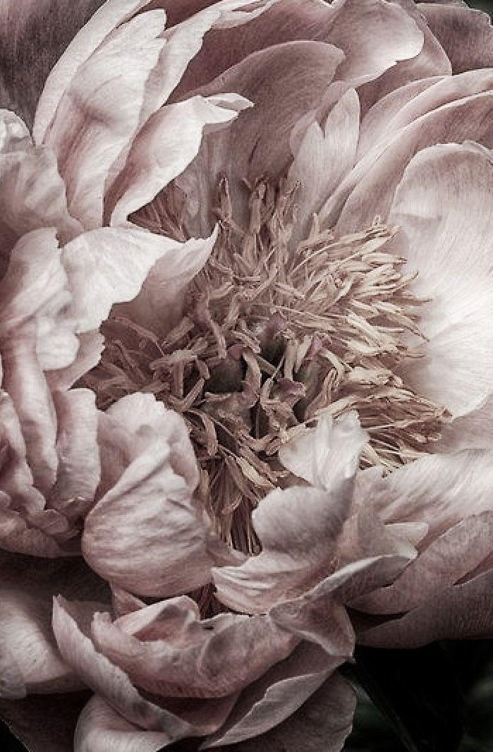 Les 25 meilleures id es concernant la peinture de pivoine Fleurs pivoines