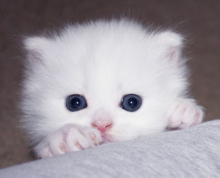 Teacup White Persian Cats Picture in Persian Cat