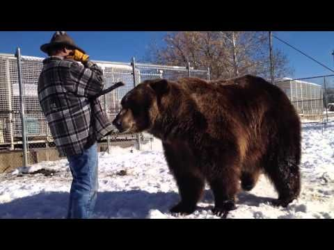 Utah's Bart the Bear: Hollywood star, savior for grizzly habitat  http://www.sltrib.com/sltrib/news/57306561-78/bart-bear-ground-vital.html.csp