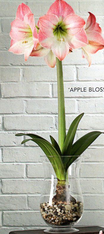 Care of Apple Blossom Amaryllis. (This shape of container keeps amaryllis foliage from flopping over. Clear glass natural stones is a nice variation.)