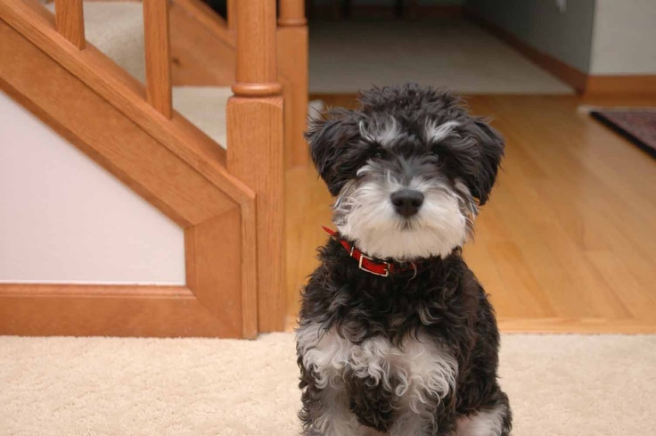 A Schnauzer doodle (schnauzer and poodle mix) so cute, but