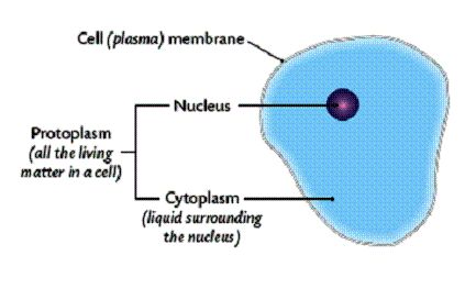What is protoplasm?  Protoplasm are basically the living components of a cell. They may include plastids, mitochondria, cytoplasm and the cell nucleus among many others. In some cases, it refers to the colloidal substance found in a cell with the exception of organelles. For  further details visit www.microlifeindia.org
