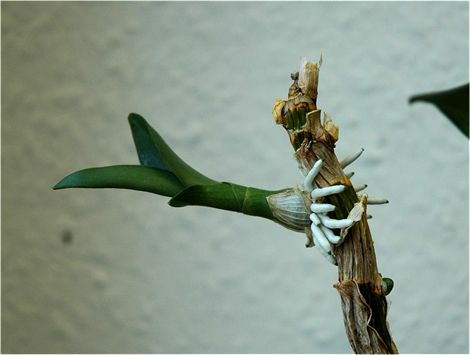 Orchideen Ableger | Orchideen vermehren | Orchideen Ratgeber