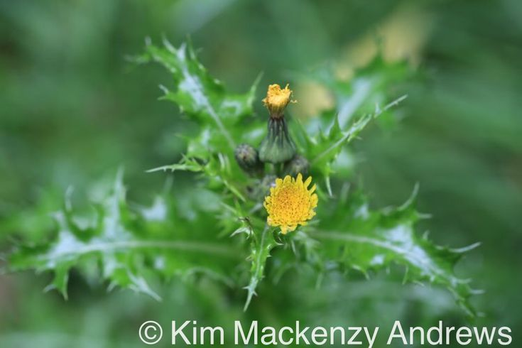 Prickly sow thistle, Binfield