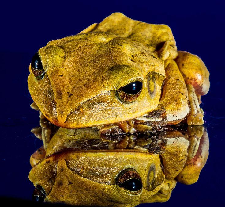 #amphibian #animal #close up #frog #reflection