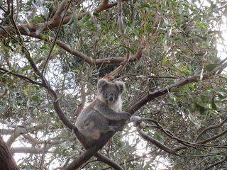 Di tutto e di più sulla Sardegna di Giurtalia e tanto altro ancora.: Viaggio in Australia 10* parte - il Koala e l'Euca...