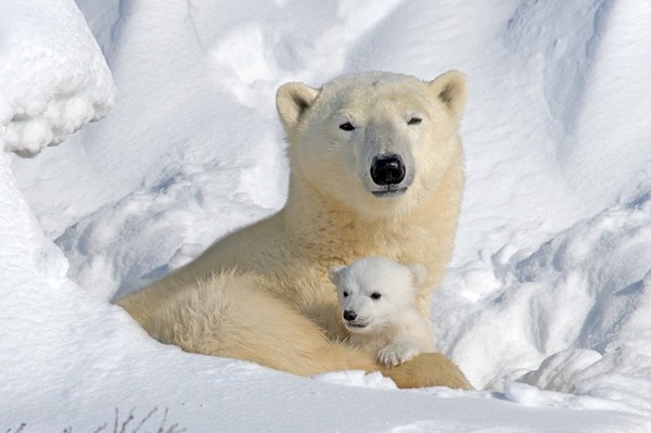white: Mothers,  Polar Bears, Bears Cubs, Animal Photo, Polarbear,  Thalarcto Maritimus, Baby Bears,  Ursus Maritimus, Ice Bears