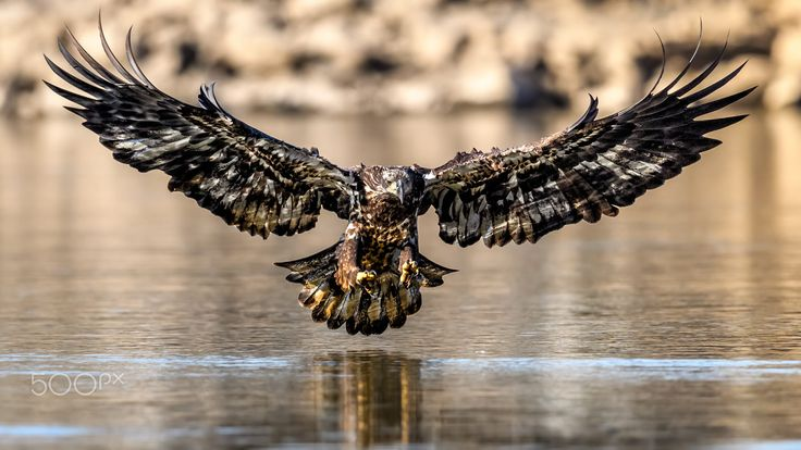 """Jedi in training, this beautiful juvenile bald eagle may have missed its pickup, but as Winston Churchill said, """"Success consists of going from failure to failure without loss of enthusiasm."""" From my #RespectTheRaptor project. As always, ethically photographed, no baiting."""