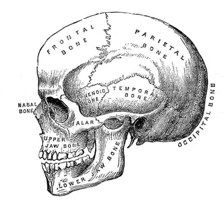 vintage halloween clip art anatomy skull printable - Halloween Skull