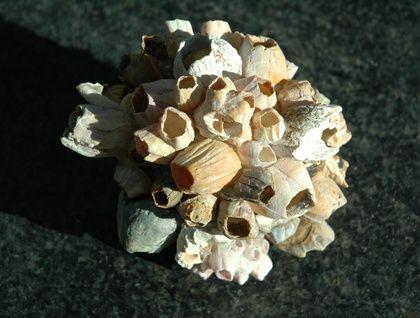 Barnacle orb -- 11cm