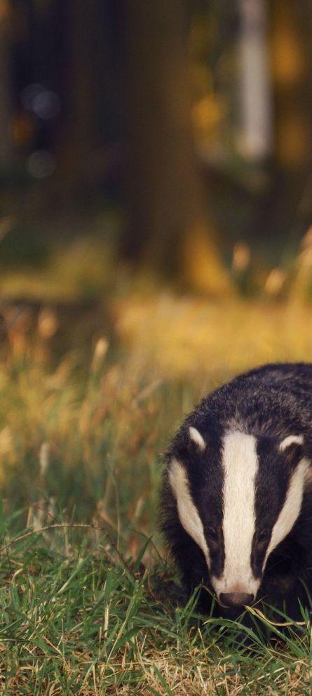 Delilah ✩ hufflepuff aesthetic - honey badger.